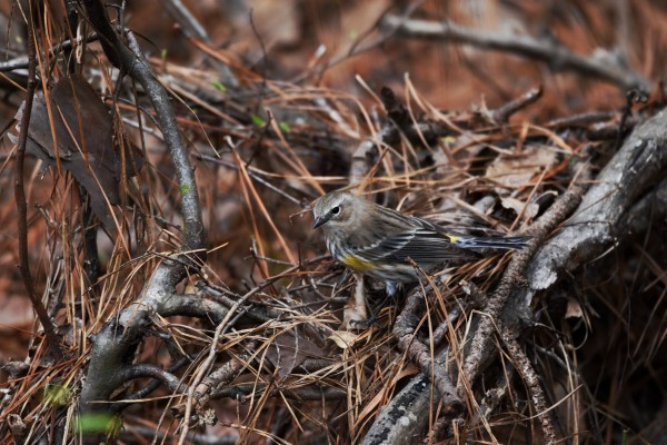 Yellow-rumped warbler by LambySnaps