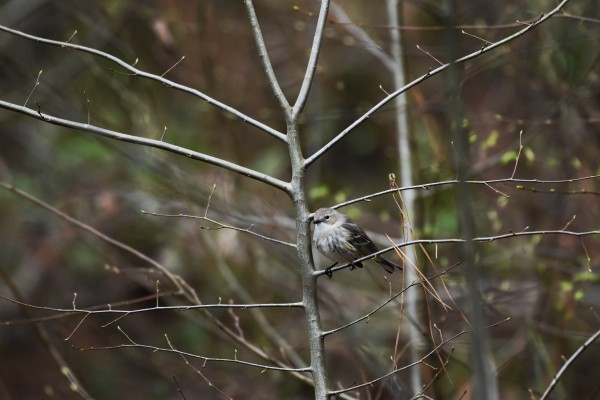 Yellow-rumped Warbler 2 by LambySnaps