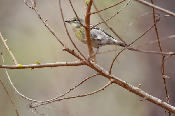 Yellow-rumped Warbler 3 by LambySnaps