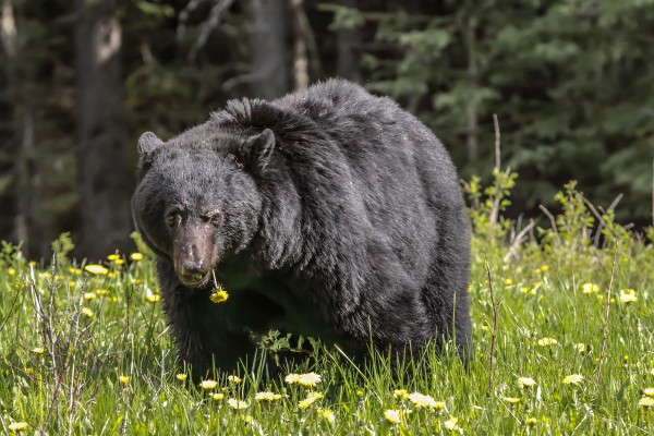 Black Bear With Dandelion by Mike Gould Photoscapes