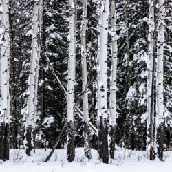 Aspens Snow Blanket Banff National Park by Mike Gould Photoscapes