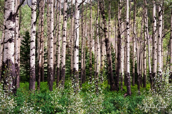 Aspens In Banff National Park at Muleshoe by Mike Gould Photoscapes