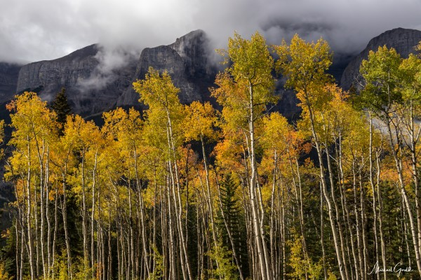 Aspens In Fall Banff National Park by Mike Gould Photoscapes