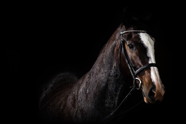 Studio Horses by Victor Rose Photo