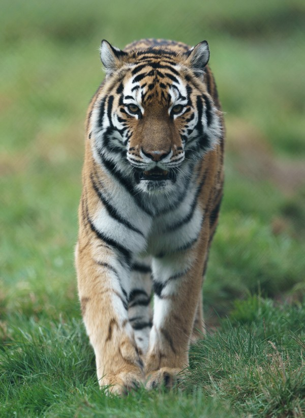 Siberian Tiger by Wesley Allen Shaw