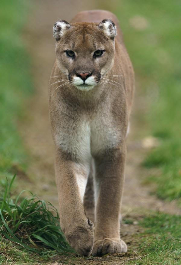 North American Cougar by Wesley Allen Shaw