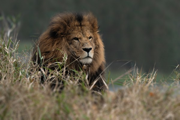 Lion by Wesley Allen Shaw