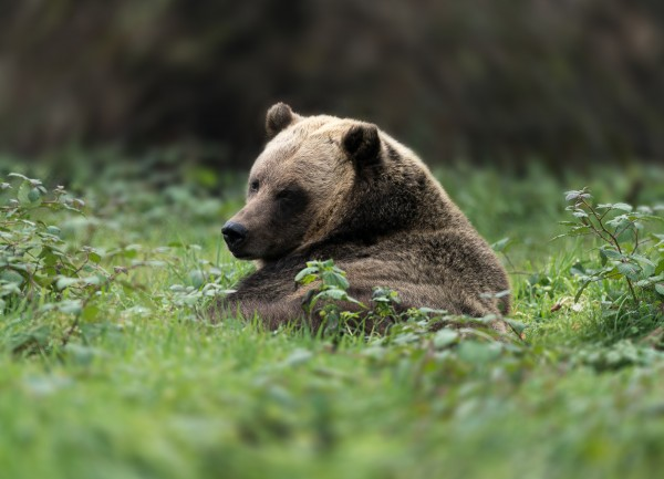 Grizzly Bear by Wesley Allen Shaw