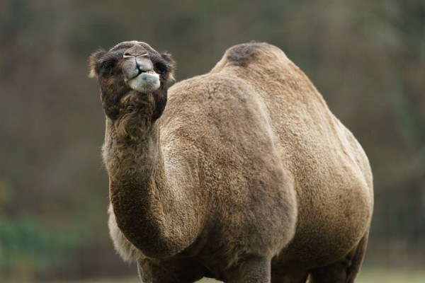 Camel by Wesley Allen Shaw