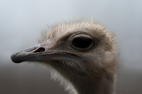 Ostrich by Wesley Allen Shaw