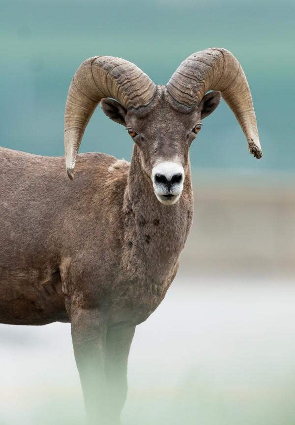 Bighorn Sheep by Wesley Allen Shaw