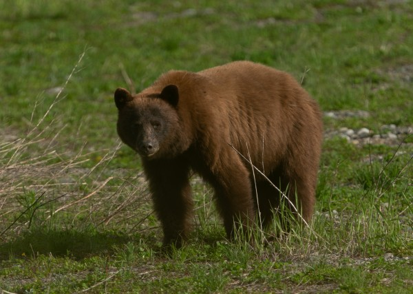 Cinnamon Black Bear by Wesley Allen Shaw