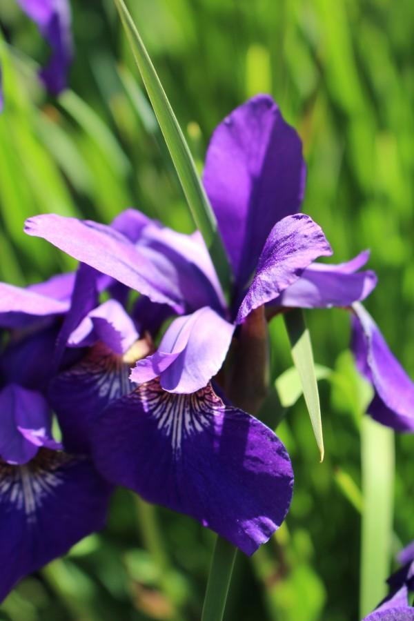 Purple Iris by Yuliya Marusina