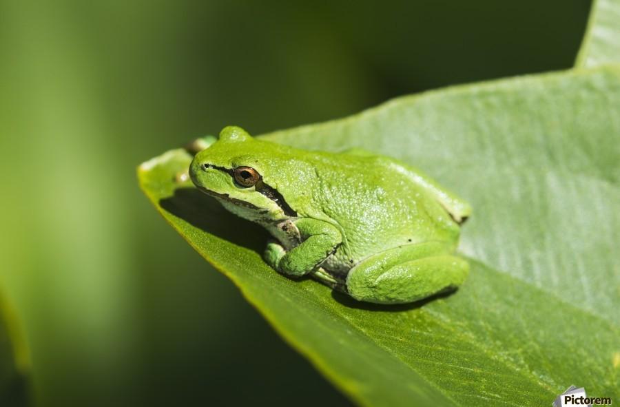 A Pacific Tree Frog (Pseudacris regilla) rests on a Wapato Leaf; Astoria, Oregon, United States of America  Print