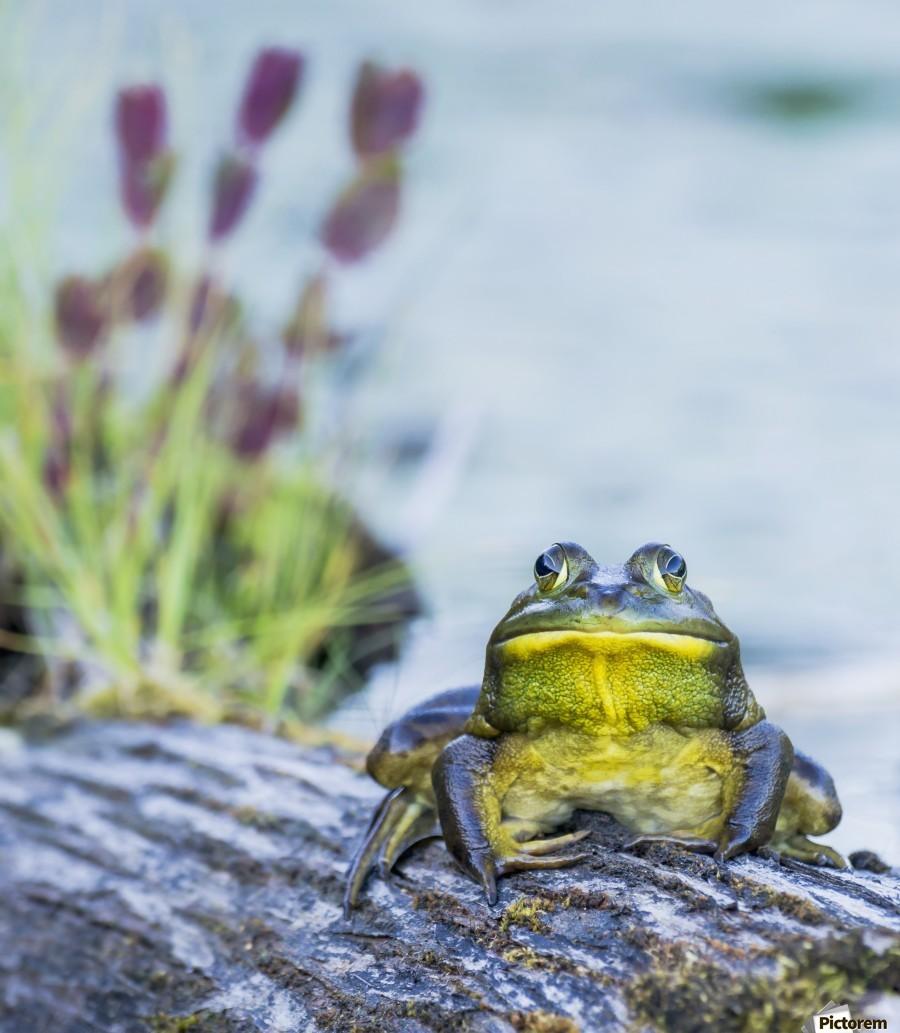 Bull frog (rana catesbeiana) resting on a log beside a lake; Ontario, Canada  Print