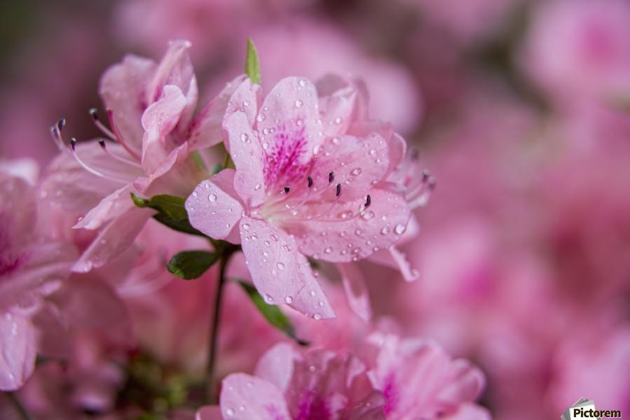 Pericat hybrid azaleas (Mrs. Fisher), Rhododendron (Ericaceae), New York Botanical Garden; New York City, New York, United States of America  Print