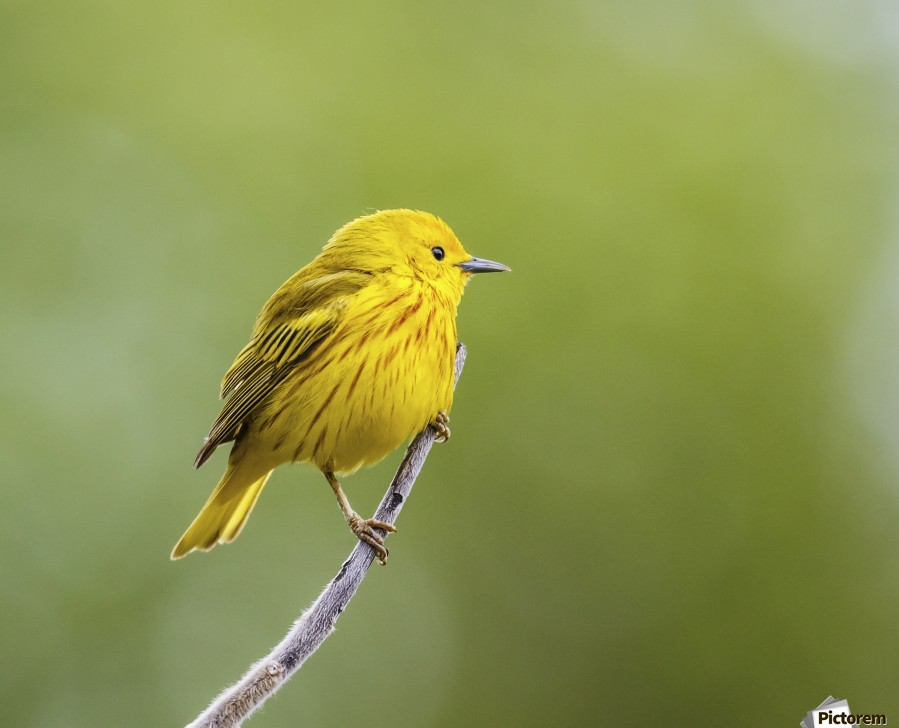 Yellow warbler (Setophaga petechia) perched during spring time; Chateauguay, Quebec, Canada  Print
