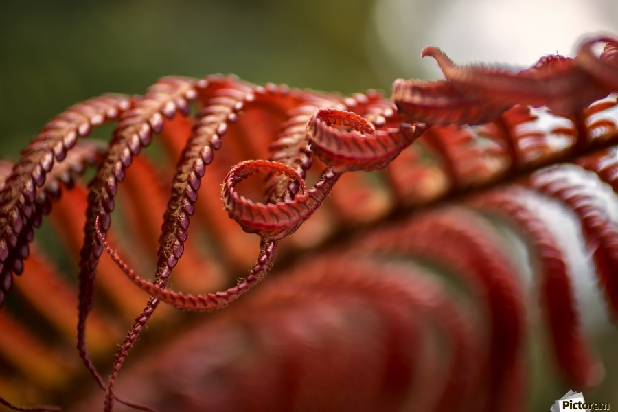 Close up of a crimson Amau fern; Hawaii, United States of America  Print