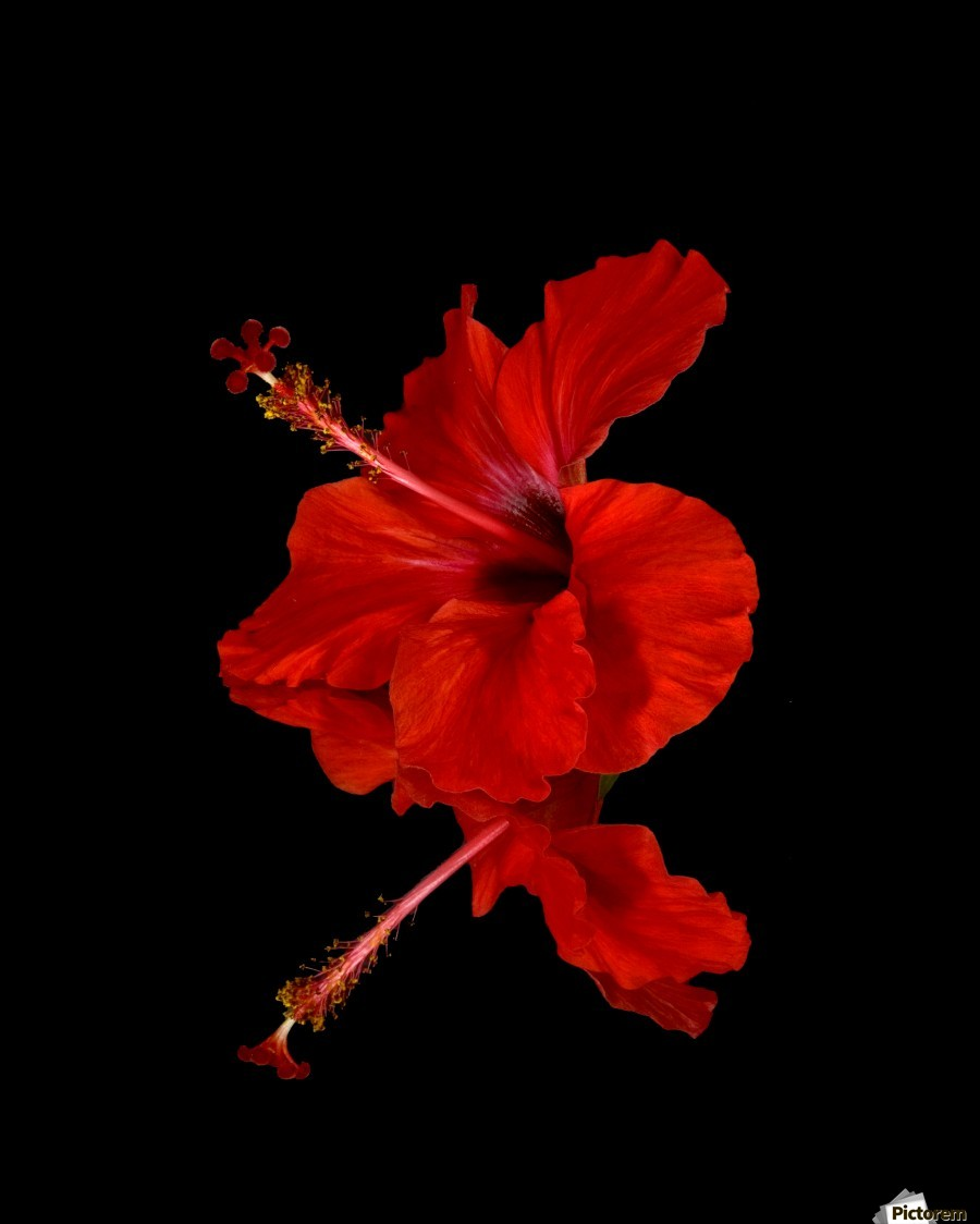 Close Up Of A Red Hibiscus Flower On A Black Background Maui Hawaii United States Of America Pacificstock