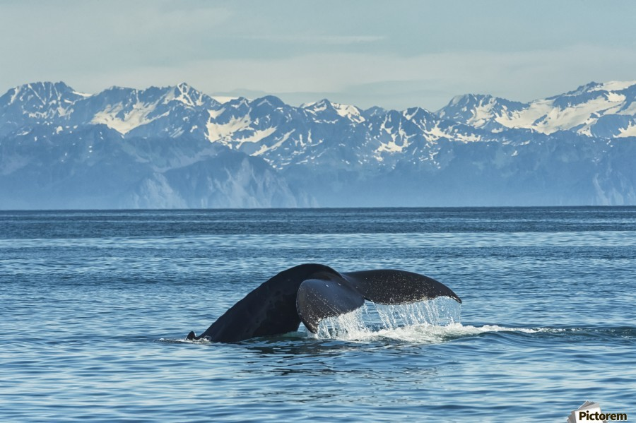 Humpback whale (Megaptera novaeangliae) in Seward harbour; Seward, Alaska, United States of America  Print