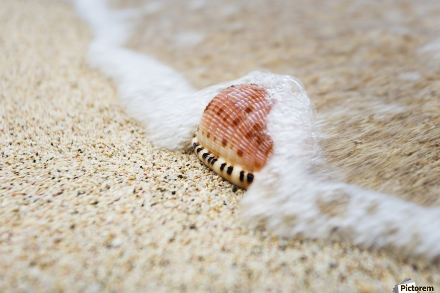 A close up of a cowry shell on the beach; St. Croix, Virgin Islands, United States of America  Print