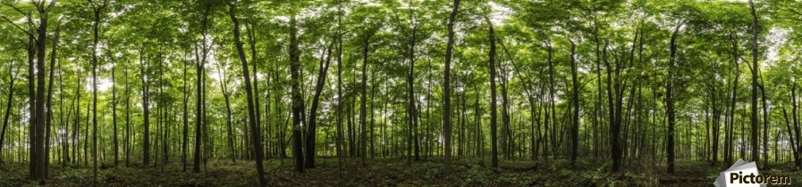 Panoramic image of a deciduous forest; Ontario, Canada  Print