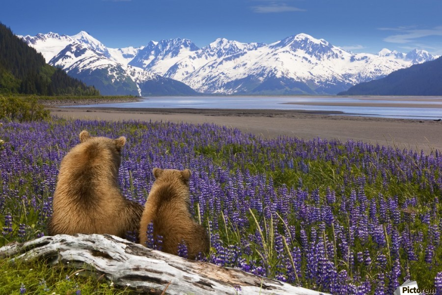 COMPOSITE: Grizzly Sow & cub sit in lupine along Seward Highway, Turnagain Arm, Southcentral Alaska  Print