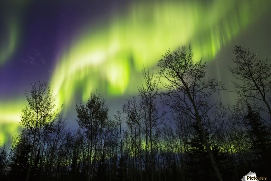 Aurora borealis over silhouetted trees; Alaska, United States of America  Print