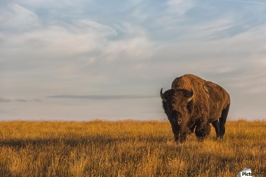Bison (bison bison), Grasslands National Park; Saskatchewan, Canada  Print