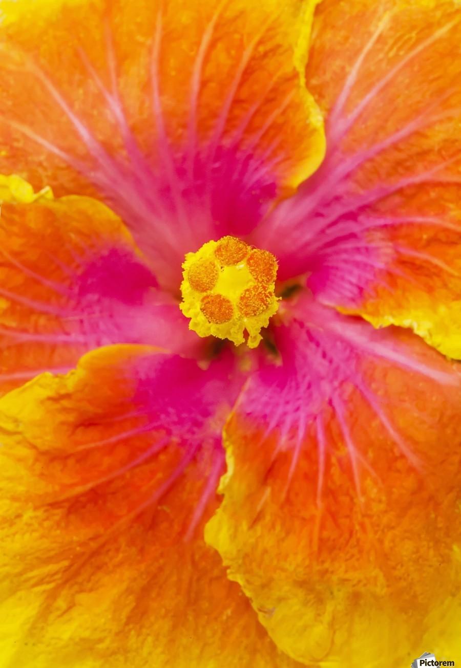 Close-up macro shot of a beautiful orange, pink and yellow Hibiscus flower; Honolulu, Oahu, Hawaii, United States of America  Print