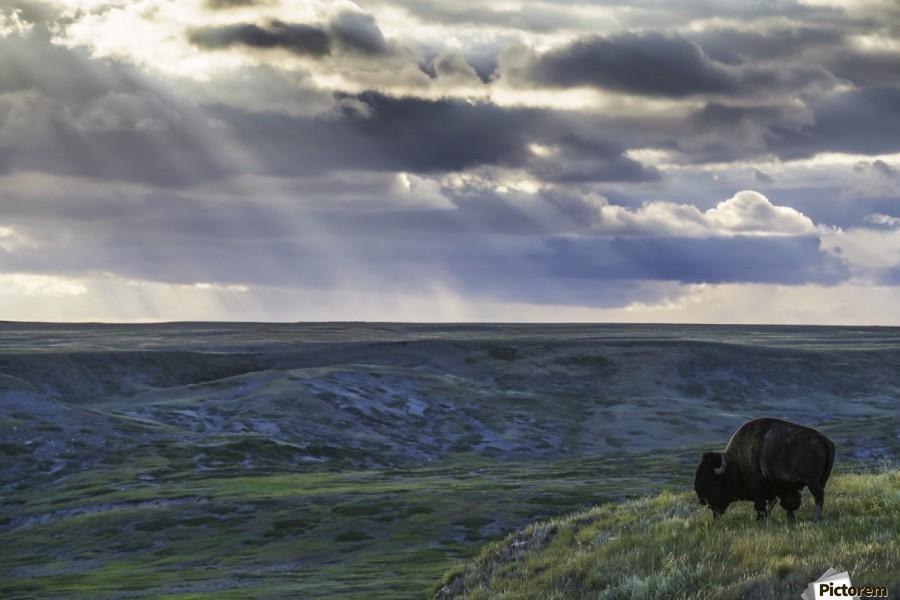 A lone bison (bison bison) grazes on the buttes of Grasslands National Park; Saskatchewan, Canada  Print