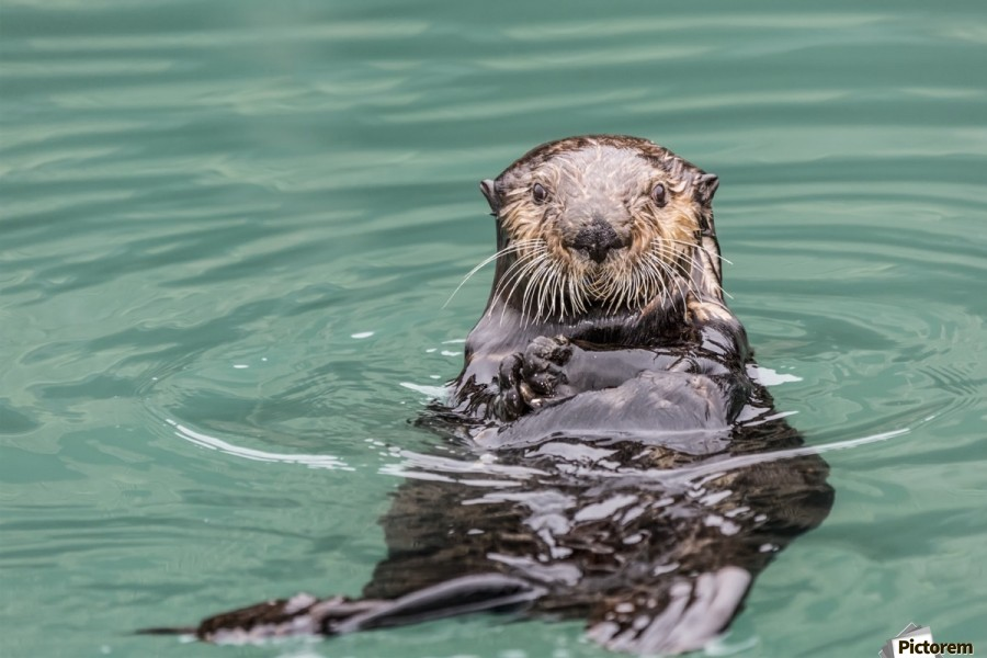Close-up of a Sea Otter (Enhydra lutris) floating on it's back, looking towards the camera, South-central Alaska; Seward, Alaska, United States of America  Print