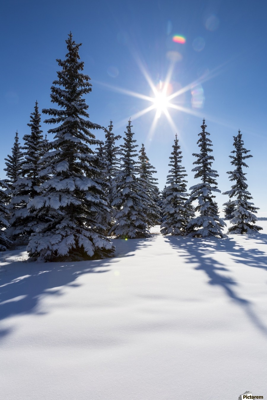 Snow covered evergreen trees on a snow covered hillside with blue sky and sun burst; Calgary, Alberta, Canada  Print