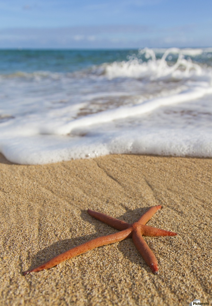 A red live Finger Starfish, also known as Linckia Sea Star, found along a sandy beach with white ocean tide washing up; Honolulu, Oahu, Hawaii, United States of America  Print
