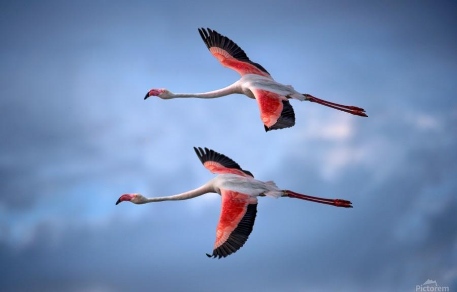 Greater Flamingos  Print