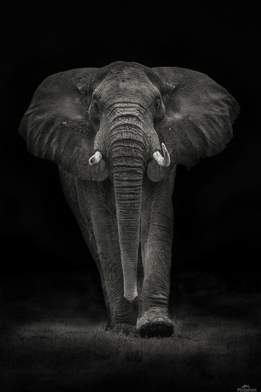 Ngorongoro Bull  Print