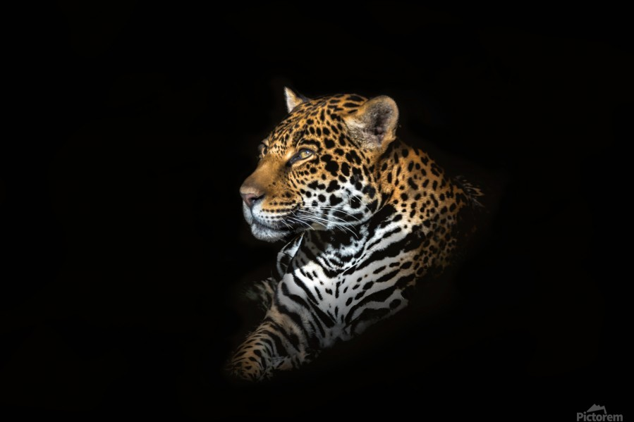 Jaguar Portrait  Print