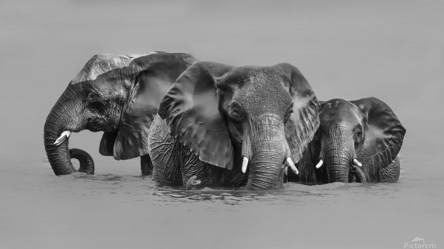 Elephant Crossing The River  Print