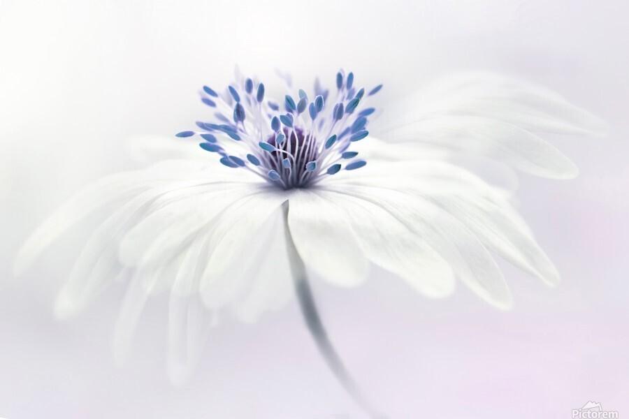 Anemone blanda  Print