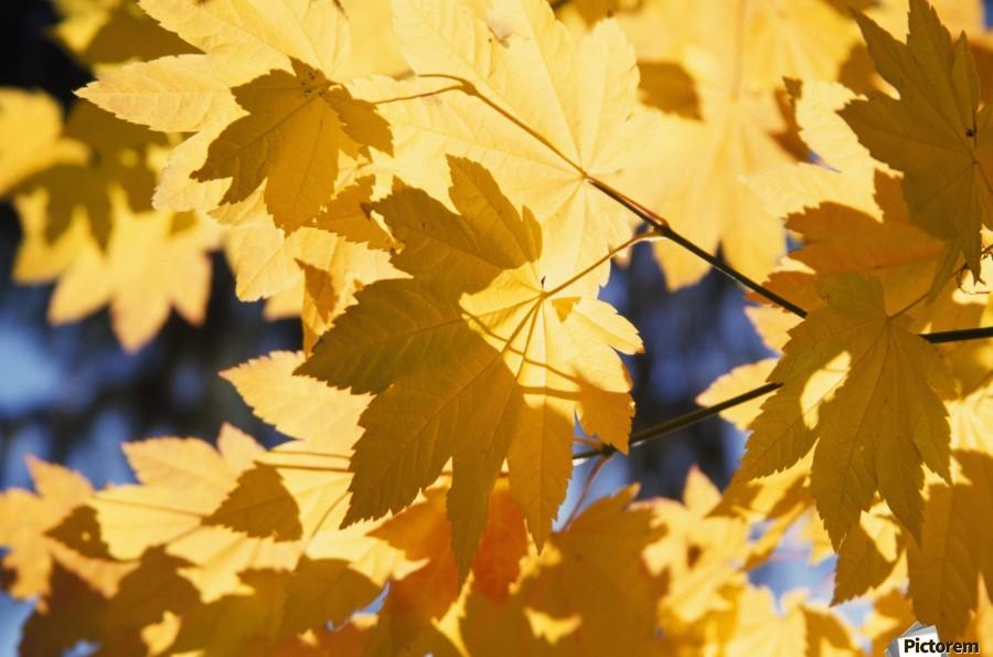 Vine Maples Leaves In Autumn  Print