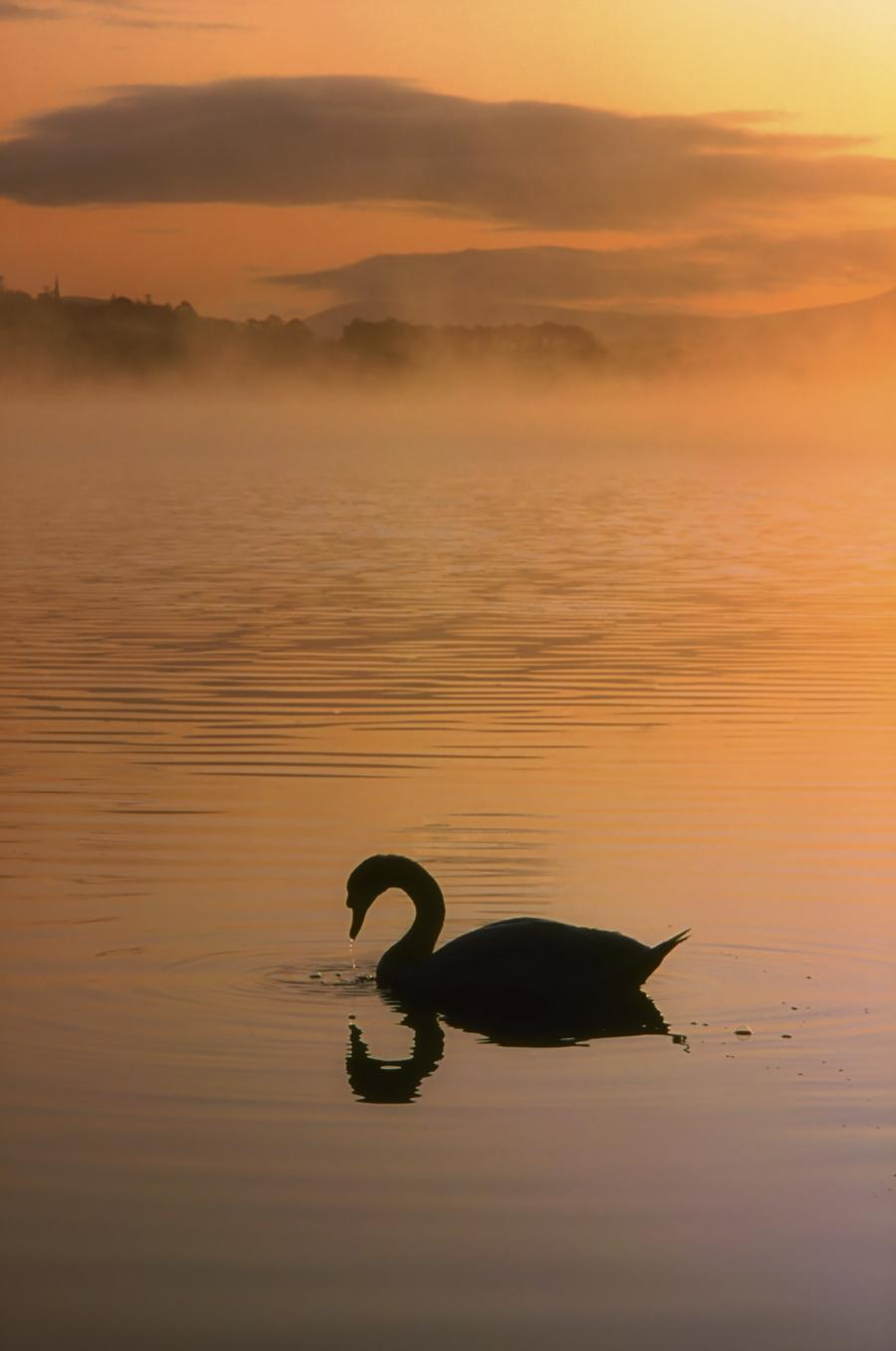 Lough Leane, Lakes Of Killarney, Co Kerry, Ireland; Silhouetted Swan  Print