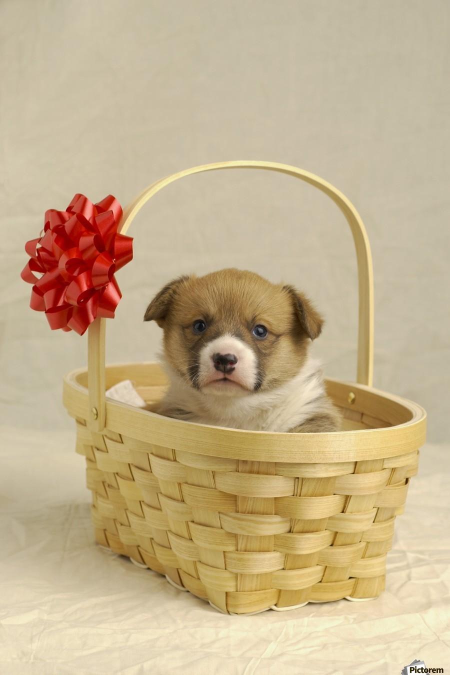 Puppy In A Basket  Print