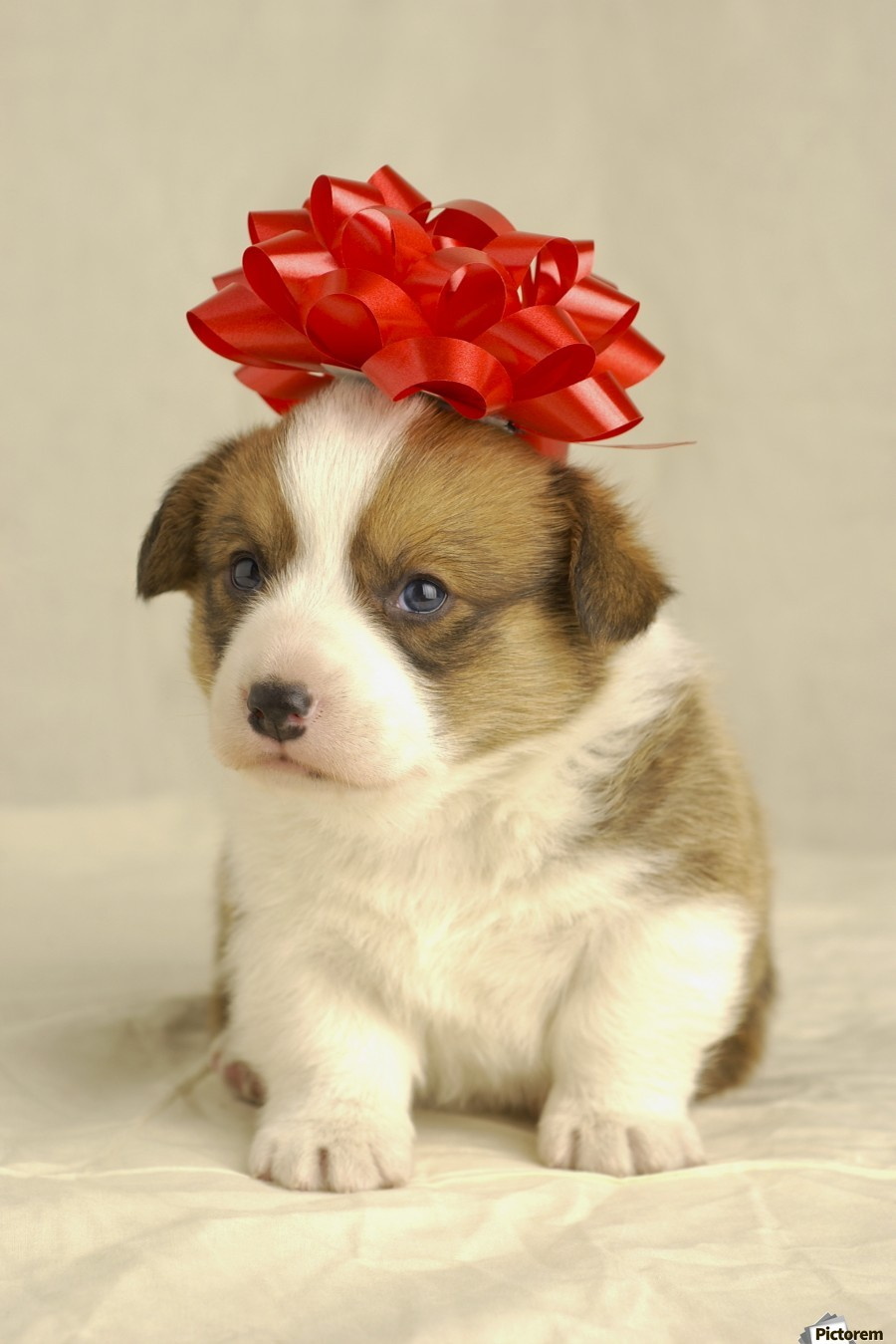 Puppy Wearing A Red Bow  Print