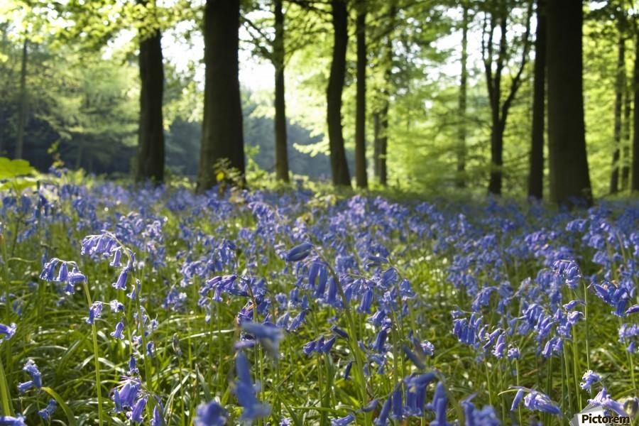 Bluebells On Forest Floor  Print