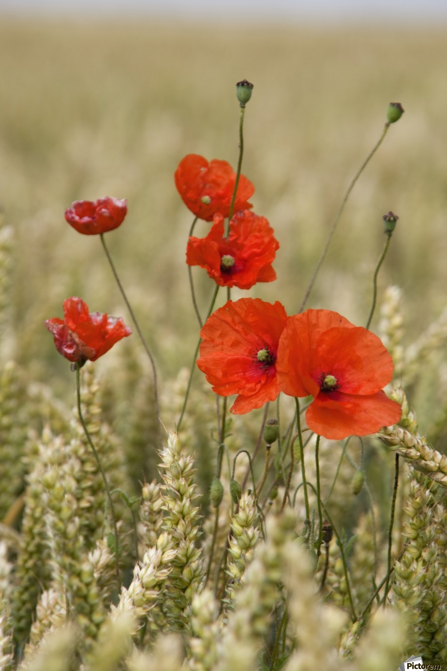 Wildflowers; Poppies In A Grain Field  Print