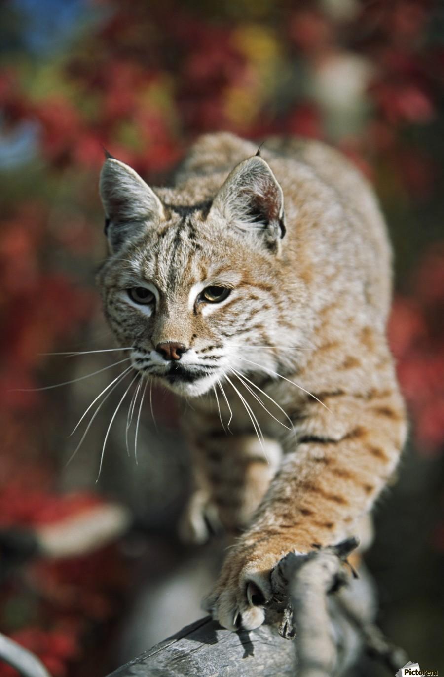 Bobcat (Felis Rufus) Walks Along Branch Through Red Leaves Of A Hawthorn In Autumn; Idaho, Usa  Print