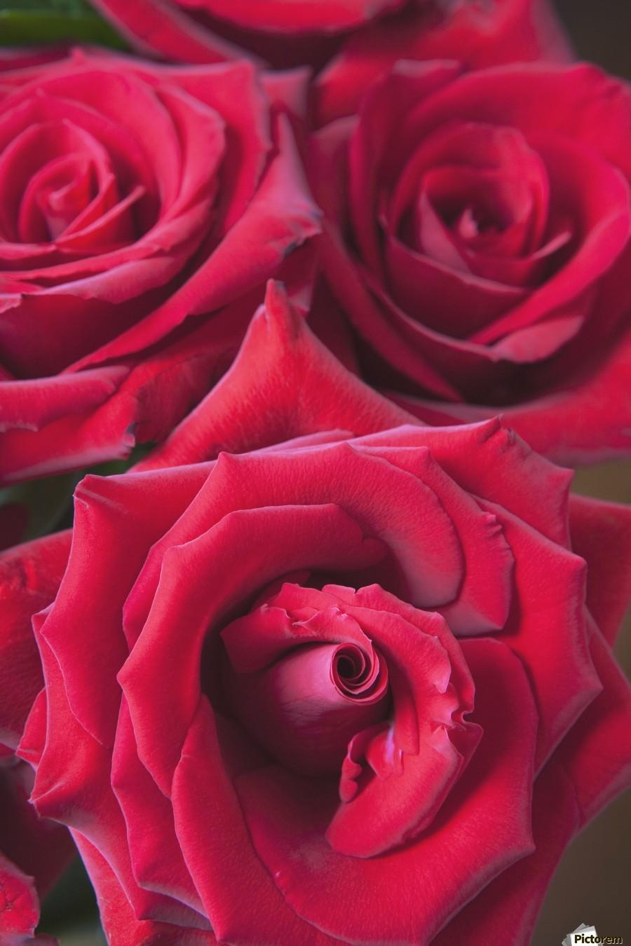 Red Roses; Quebec, Canada  Print
