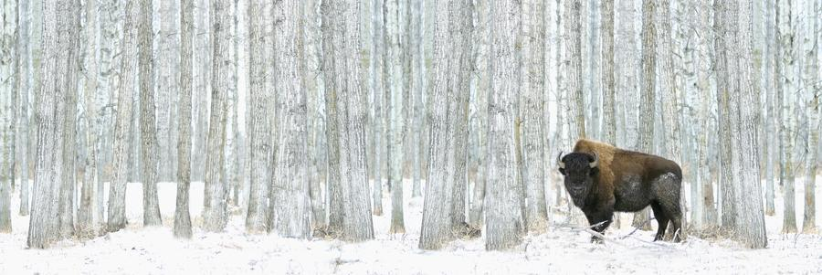 Buffalo Standing In Snow Among Poplar Trees In Elk Island National Park; Alberta, Canada  Print