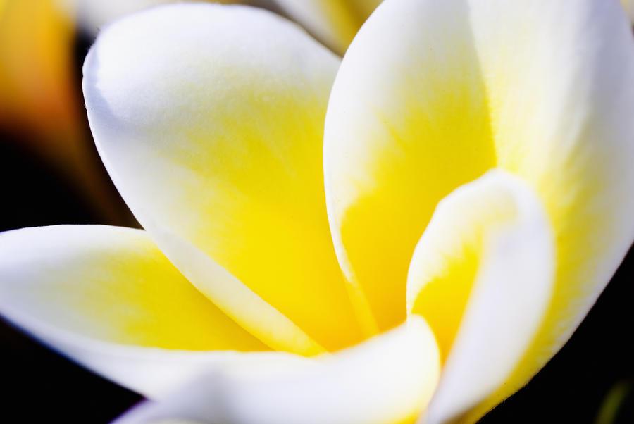 Thailand, Phuket, Kata Noi, Close Up Of Plumeria Flower.  Print