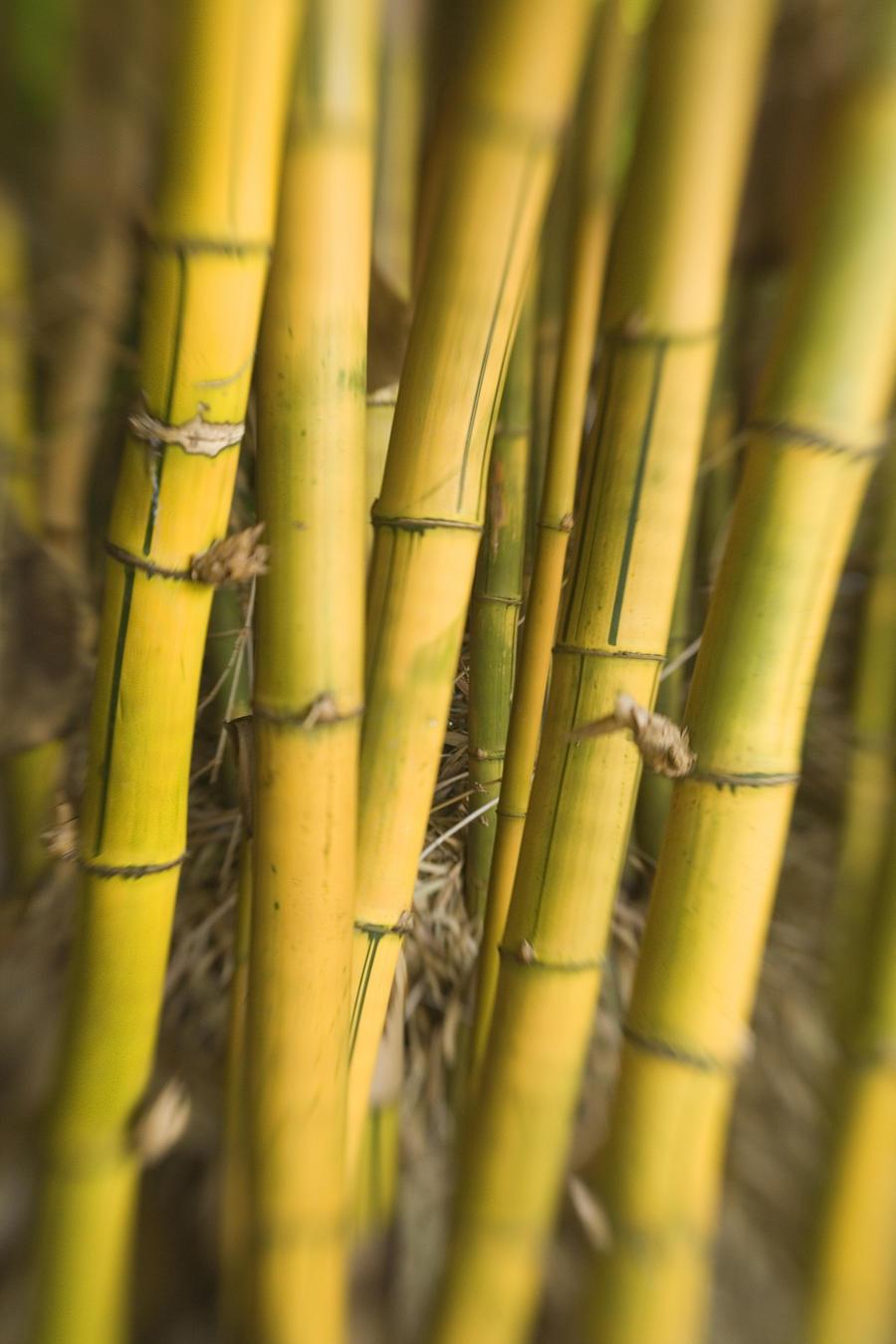 Close-Up Of Bamboo Stalks.  Print